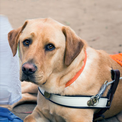 Photo of Guide Dog Nixon lying down in harness. He is gazing into the camera -always watching!