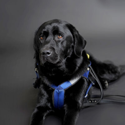 Photo of Seeing Eye Dog Walter, lying in harness looking particularly gorgeous